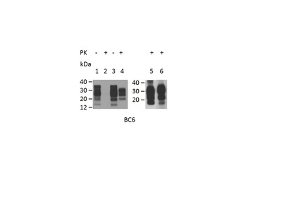 CD230 (PrP) Monoclonal Antibody (ROS-BC6)
