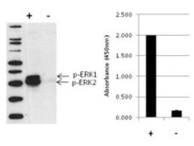ERK1/ERK2 (Phospho) [pT202/pY204]/[pT185/pY187] Multispecies InstantOne™ ELISA Kit