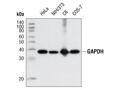 Great Antibody to Detect GAPDH