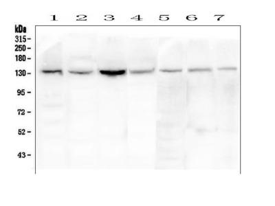 Anti-eNOS/NOS3 Picoband Antibody