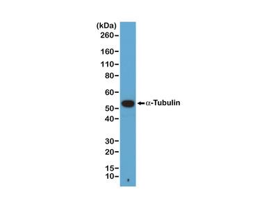 Anti- alpha -Tubulin Rabbit Monoclonal Antibody, Clone#RM113