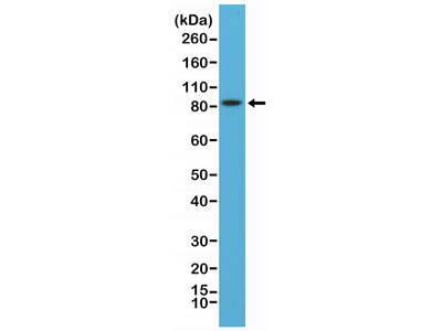 Anti-PSD-95 Rabbit Monoclonal Antibody, Clone#RM288