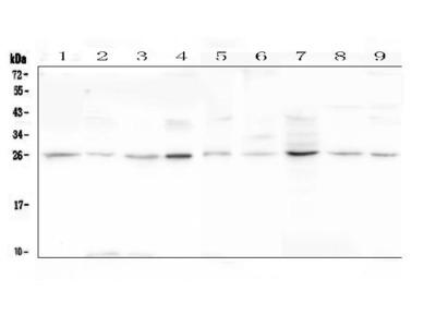 Anti-Loricrin/LOR Antibody Picoband