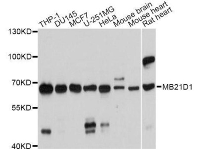 anti-C6orf150 Antibody