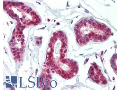 PRMT1 Antibody