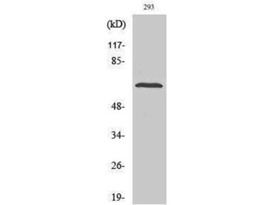 anti-PTPN11 Antibody