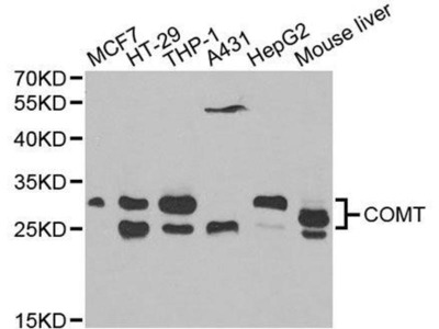 anti-COMT Antibody
