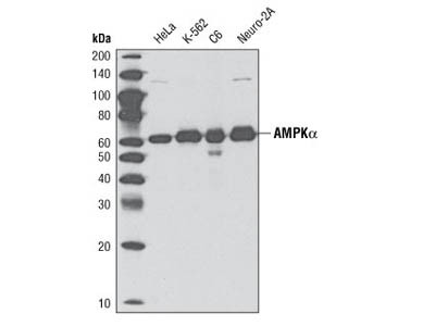 Clear Antibody for AMPK-a