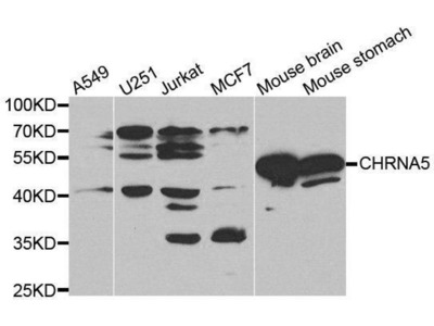 anti-CHRNA5 Antibody