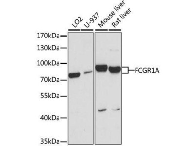 anti-FCGR1A Antibody