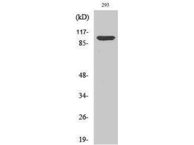 anti-ATP1A1 Antibody