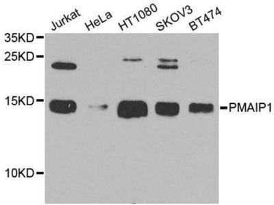 anti-NOXA Antibody