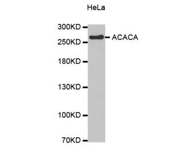 anti-acaca Antibody