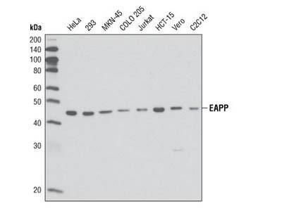 EAPP (1E4) Mouse mAb