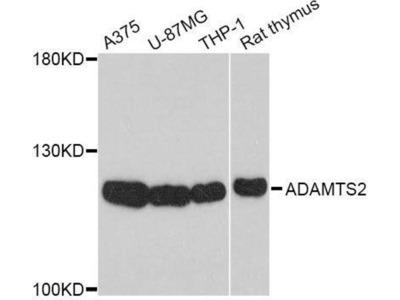 anti-Adamts2 Antibody
