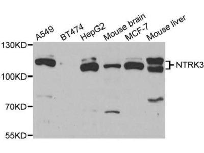 anti-NTRK3 Antibody