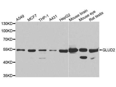 anti-GLUD2 Antibody