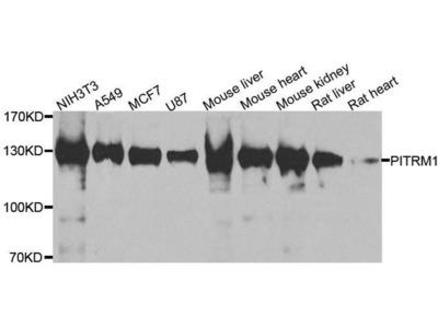 anti-PITRM1 Antibody