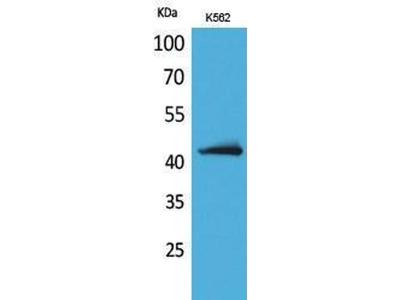 anti-JAM2 Antibody