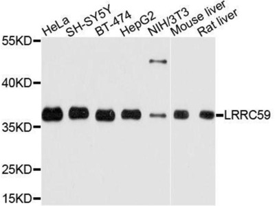anti-LRRC59 Antibody