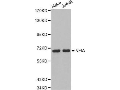 anti-NFIA Antibody
