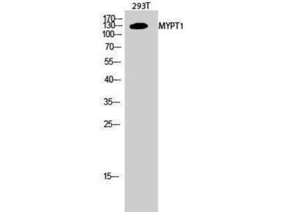 anti-protein phosphatase 1 regulatory subunit 12a Antibody
