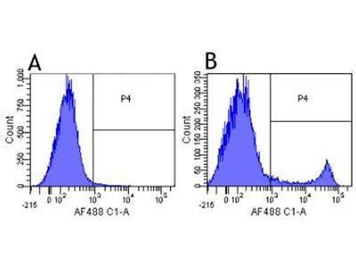 anti-CD8 Antibody