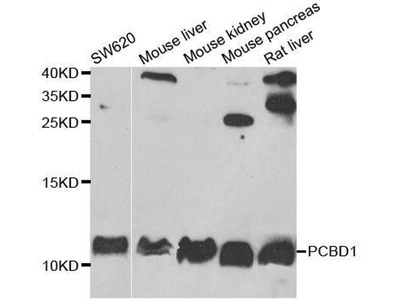 anti-PCBD1 Antibody