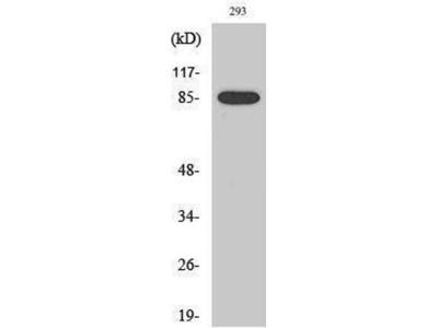 anti-MPO 89k Antibody