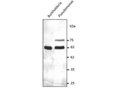 anti-GroEL Antibody