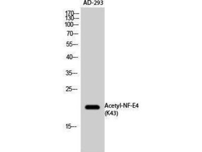 anti-NFE4 Antibody