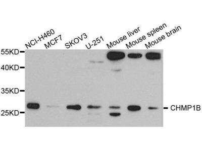 anti-CHMP1B Antibody