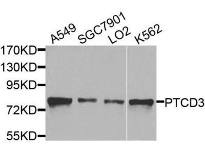 anti-PTCD3 Antibody