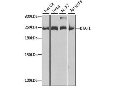 anti-BTAF1 Antibody
