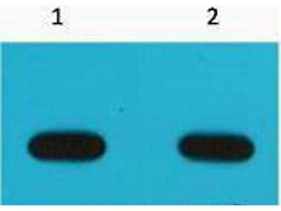 anti-Avi-Tag Antibody