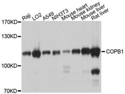anti-COPB1 Antibody