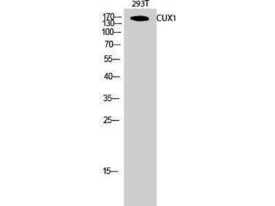 anti-CUX1 Antibody