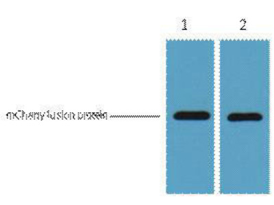 anti-mCherry Fluorescent Protein Antibody