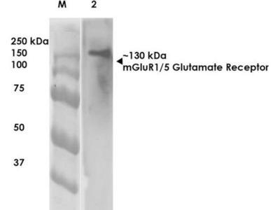 anti-GRM5 Antibody