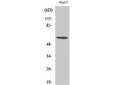 anti-CCT6A Antibody