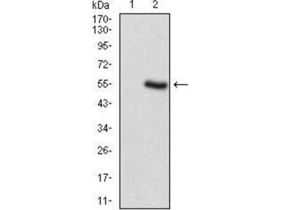 anti-PER3 Antibody