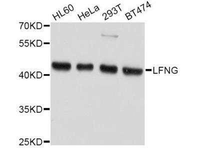 anti-LFNG Antibody