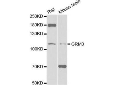 anti-GRM3 Antibody