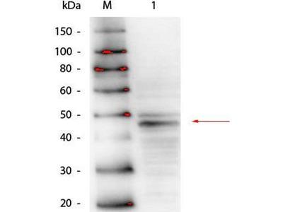 anti-GATA4 Antibody
