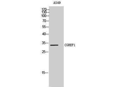 anti-CGREF1 Antibody