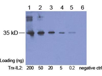 anti-Trx Tag Antibody