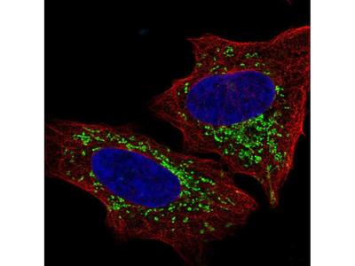 Anti-S1PR4 Antibody