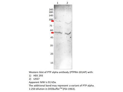 PTP alpha Antibody