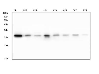 Anti-RAB27A Picoband Antibody (monoclonal, 2F5)