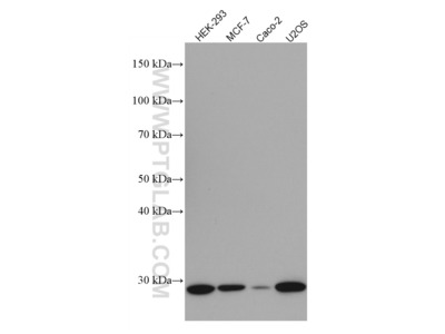 Cyclin D2 Monoclonal Antibody